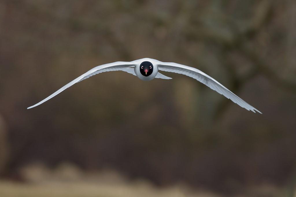 Foto/billede af Sorthovedet Måge (Larus melanocephalus)