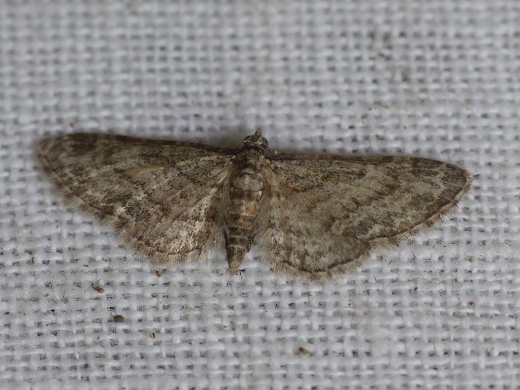 Foto/billede af Navrdværgmåler (Eupithecia inturbata)