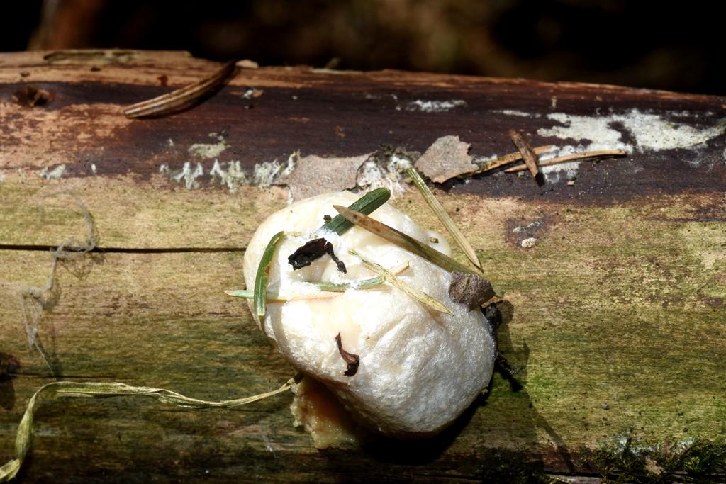 Foto/billede af Skinnende Støvpude (Reticularia lycoperdon)