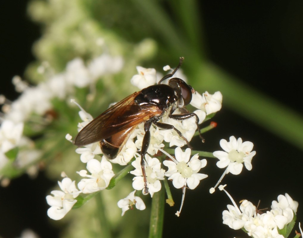 Gul Træhulflue (Myolepta dubia)