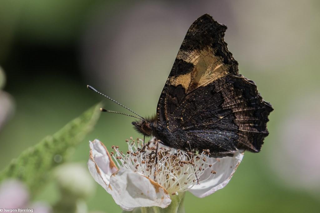 Nældens Takvinge (Aglais urticae)