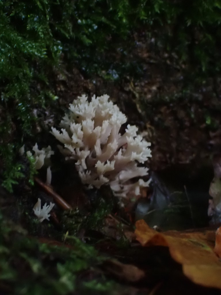 Kam-Troldkølle (Clavulina coralloides)