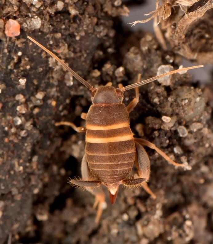 Foto/billede af Myrefårekylling (Myrmecophilus acervorum)