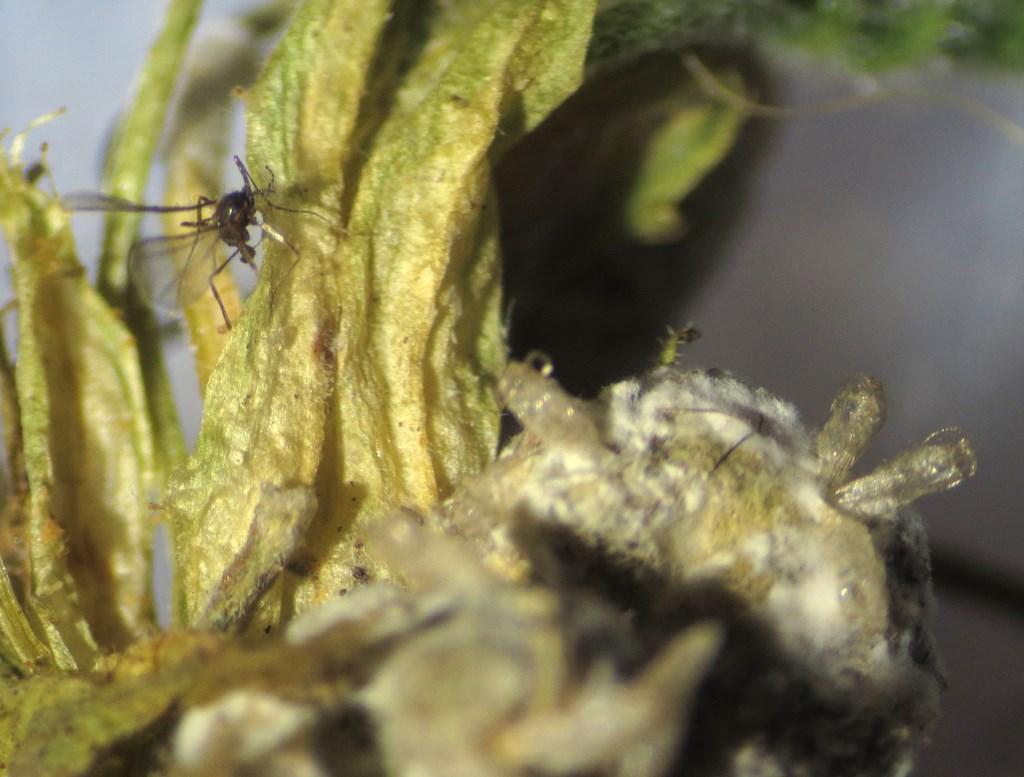 Martsviolgalmyg (Dasineura odoratae)