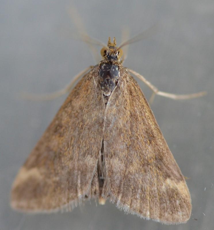 Foto/billede af Pyrausta despicata (Pyrausta despicata)