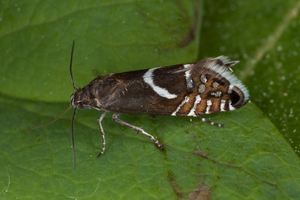 Foto/billede af Glyphipterix haworthana (Glyphipterix haworthana)