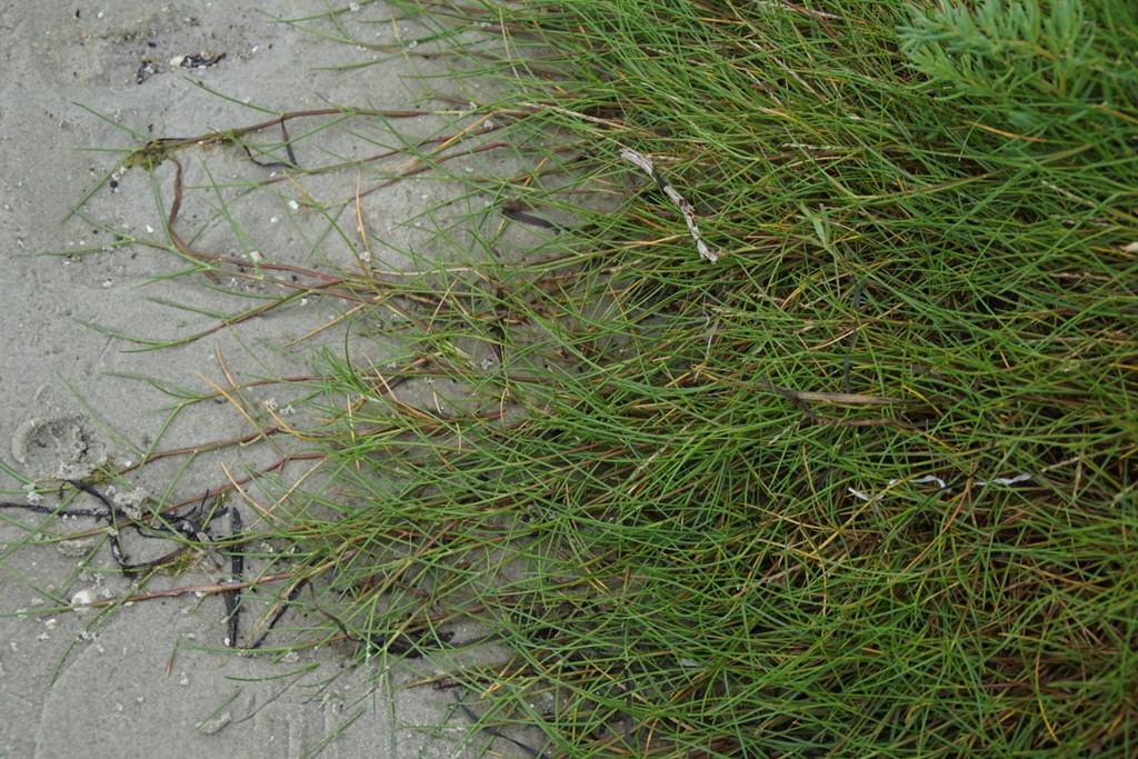 Strand-Annelgræs