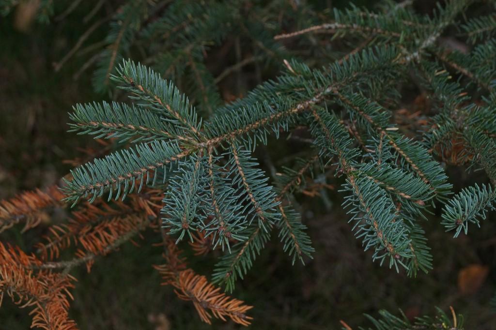 Foto/billede af Blå-Gran (Picea pungens)