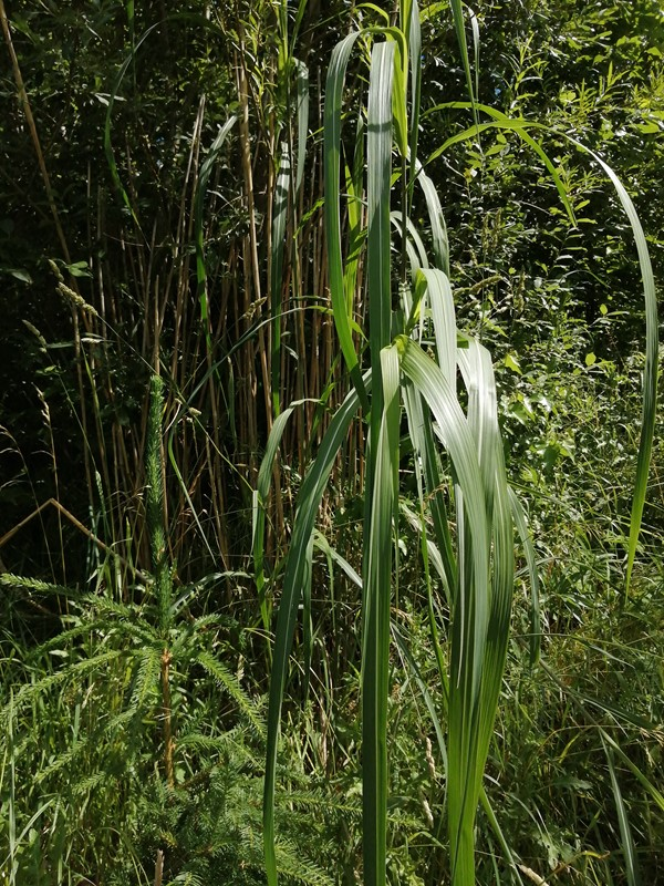 Kæmpe-Elefantgræs (Miscanthus x ogiformis)