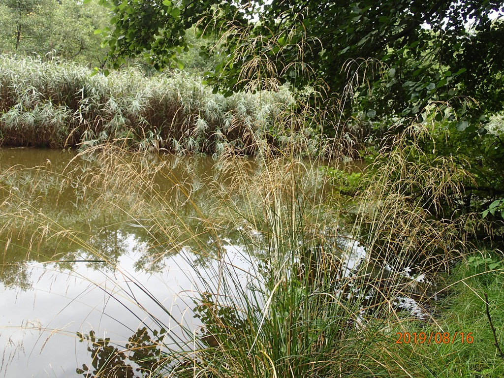 Foto/billede af Mose-Bunke (Deschampsia cespitosa)