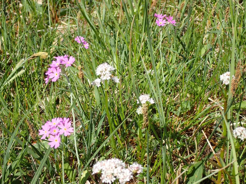 Foto/billede af Melet Kodriver (Primula farinosa)