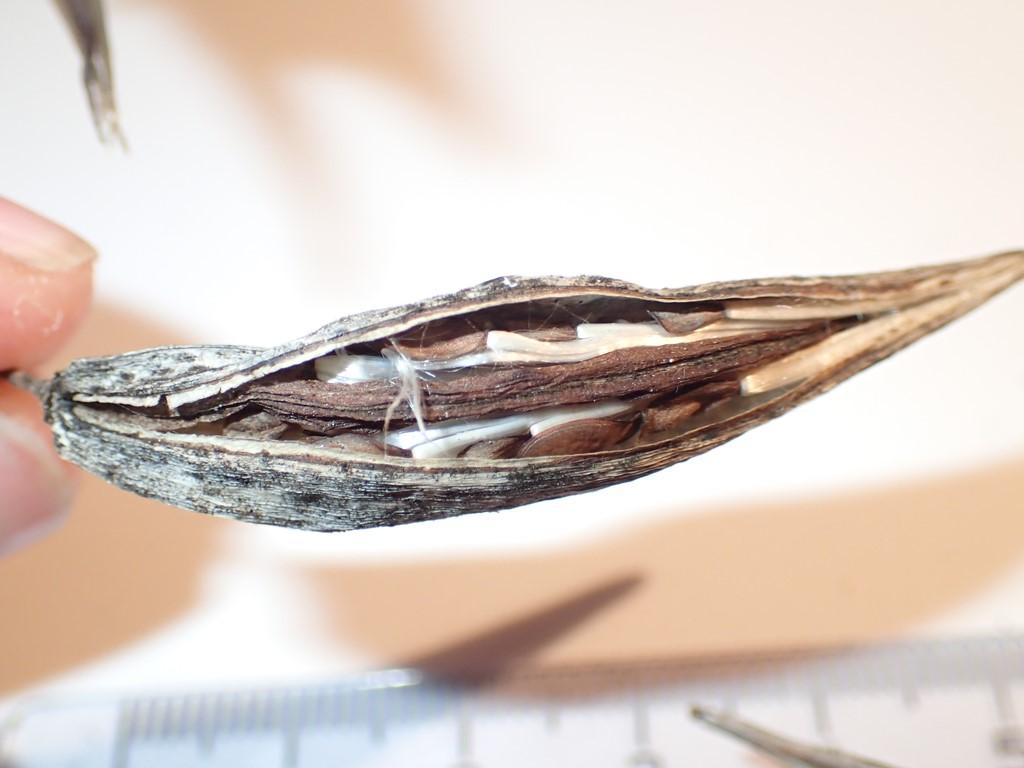 Foto/billede af Svalerod (Vincetoxicum hirundinaria)