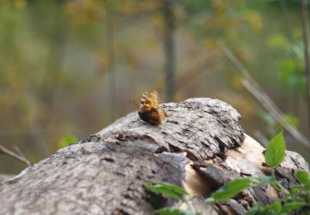 Foto/billede af Kirsebærtakvinge (Nymphalis polychloros)