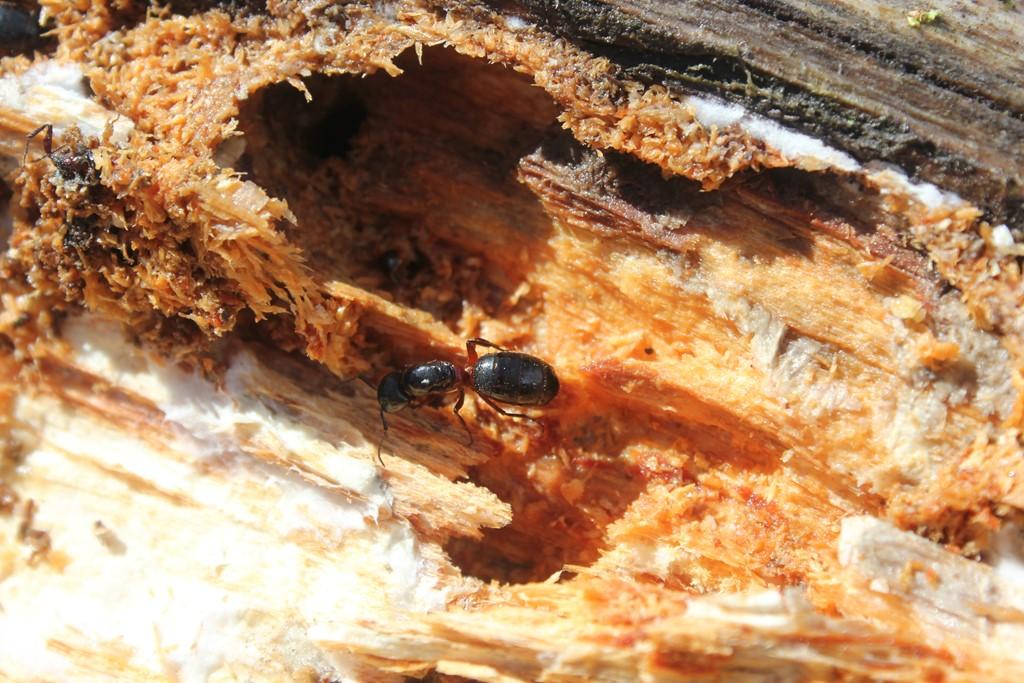 Foto/billede af Herkulesmyre (Camponotus herculeanus)