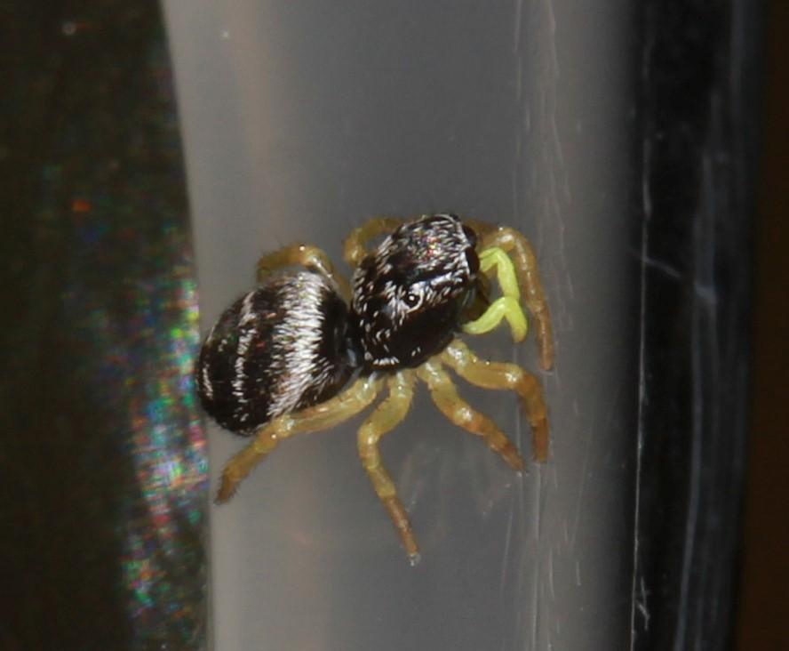 Foto/billede af Heliophanus flavipes (Heliophanus flavipes)