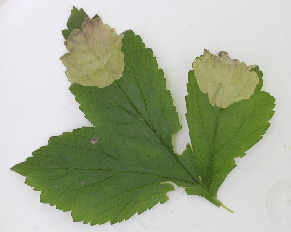 Nellikerodminérbladhveps (Metallus lanceolatus)