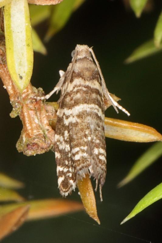 Foto/billede af Grannålevikler (Epinotia tedella)