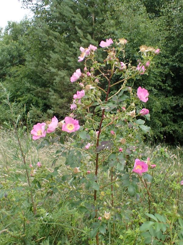 Æble-Rose (Rosa rubiginosa)