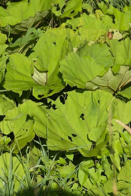 Foto/billede af R�d hestehov (Petasites hybridus)