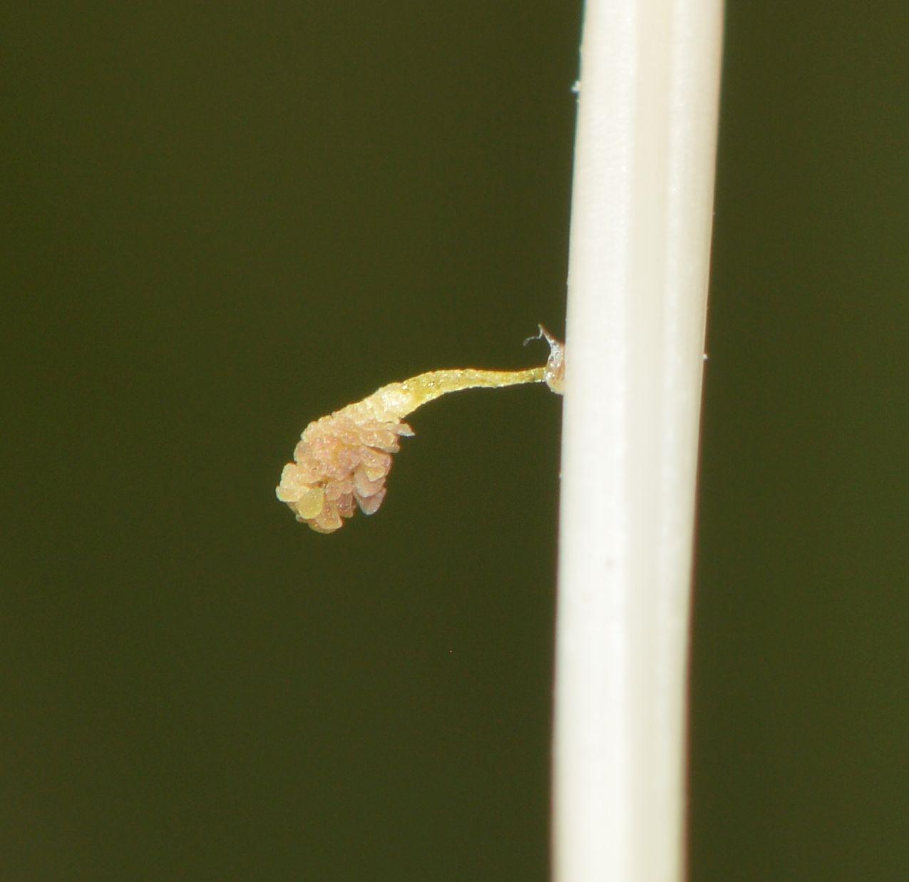 Foto/billede af Plettet Gøgeurt (Dactylorhiza maculata ssp. maculata)