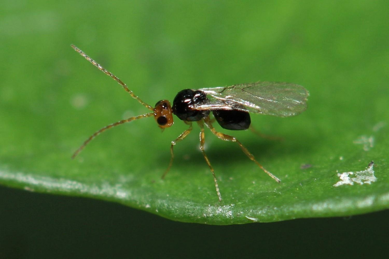 Alloxysta victrix