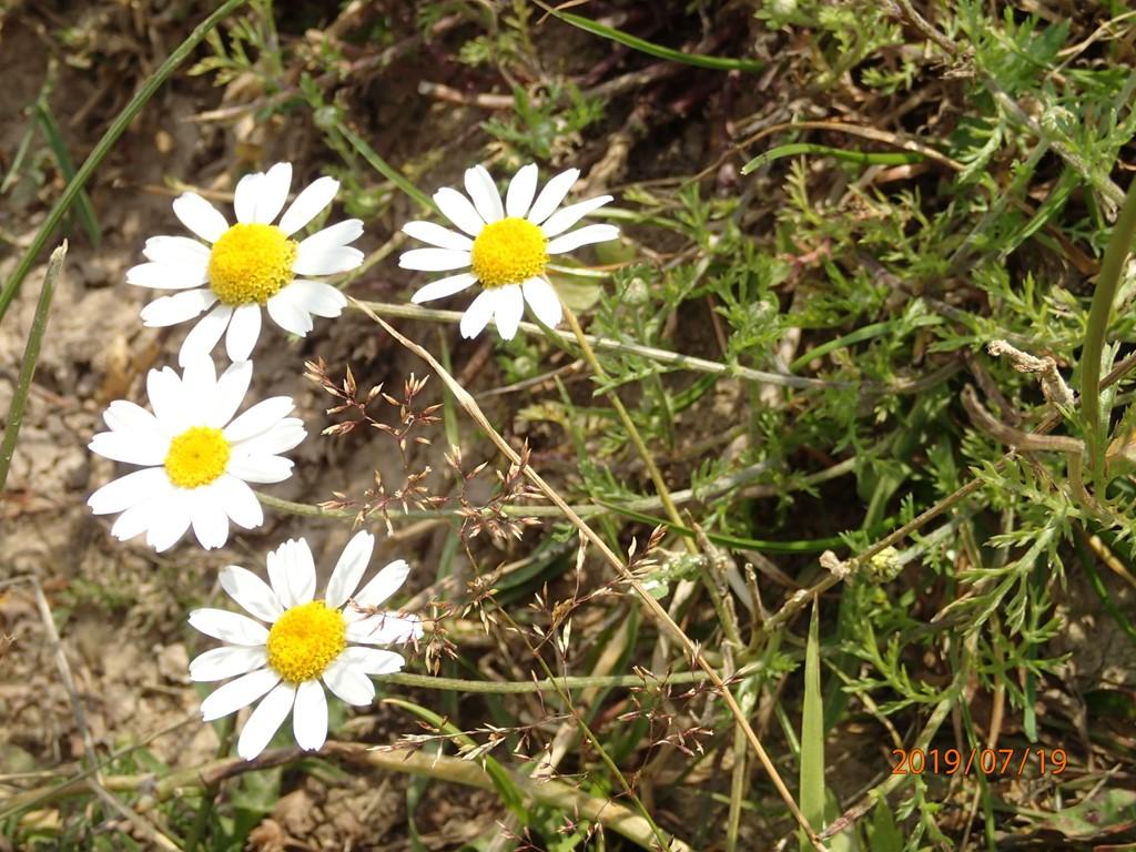 Foto/billede af Ager-Gåseurt (Anthemis arvensis)