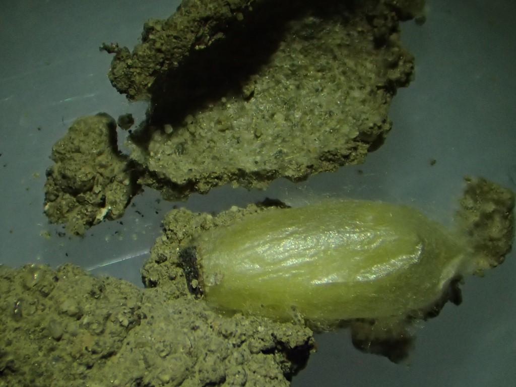 Auplopus carbonarius
