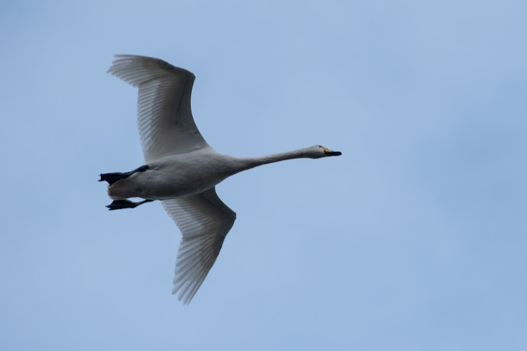 Foto/billede af Pibe-/Sangsvane (Cygnus columbianus/cygnus)