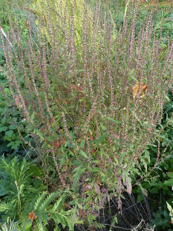 Foto/billede af Bynke-Ambrosie (Ambrosia artemisiifolia)