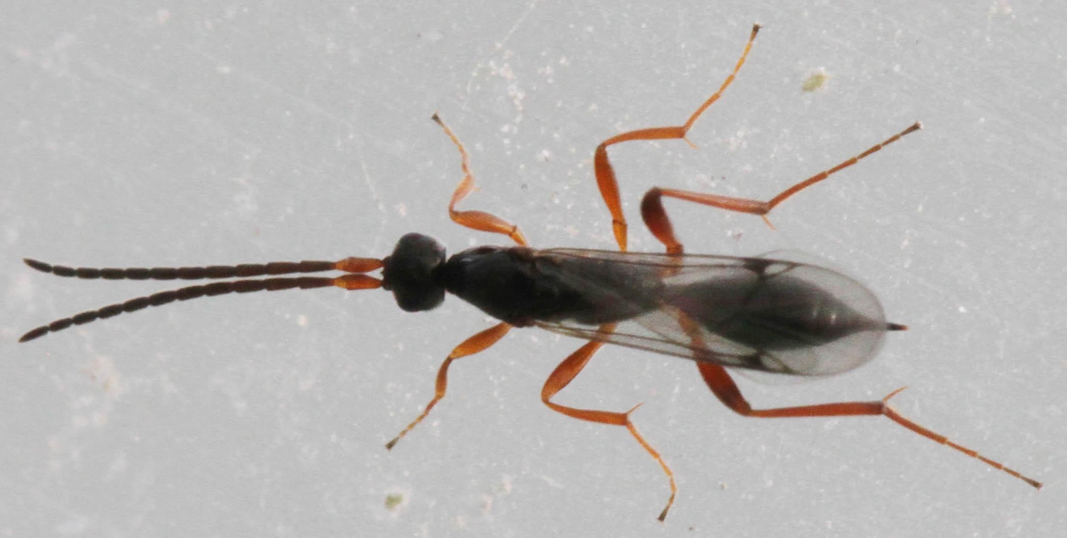 Phaneroserphus calcar (Phaneroserphus calcar)