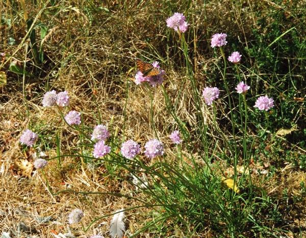 Foto/billede af Engelskgræs (Armeria maritima)