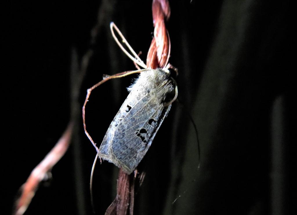 Foto/billede af Sortmærket Overvintringsugle (Conistra rubiginosa)