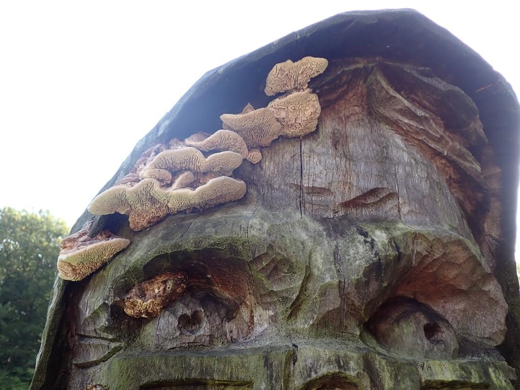 Ege-Labyrintsvamp (Daedalea quercina)