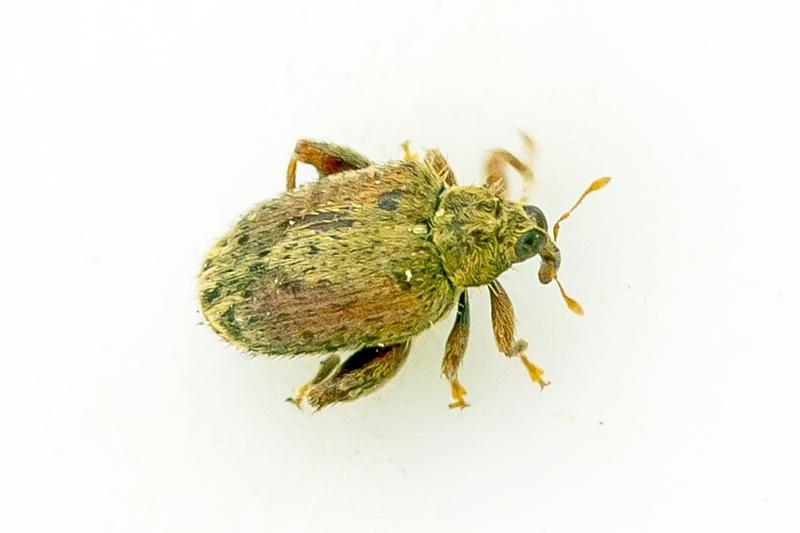 Foto/billede af Egeloppe (Orchestes quercus)