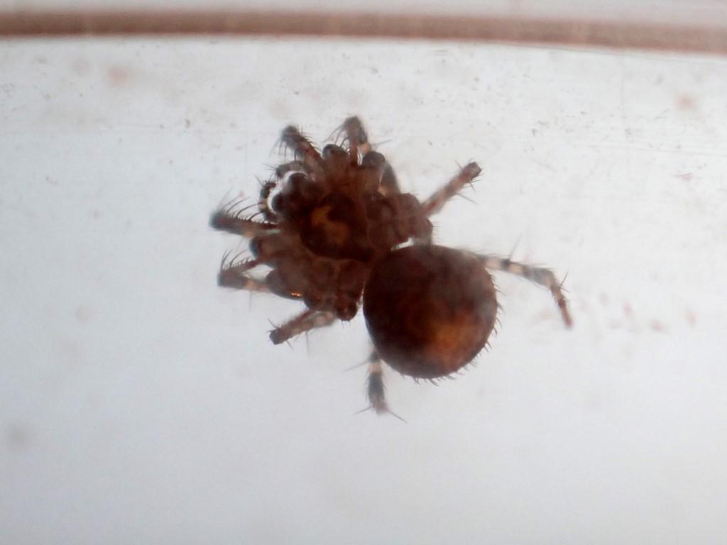 Sumppiratedderkop (Ero cambridgei)