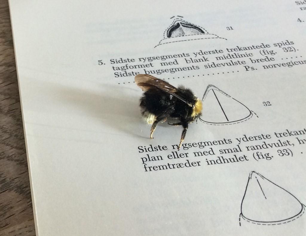 Foto/billede af Hussnyltehumle (Bombus norvegicus)