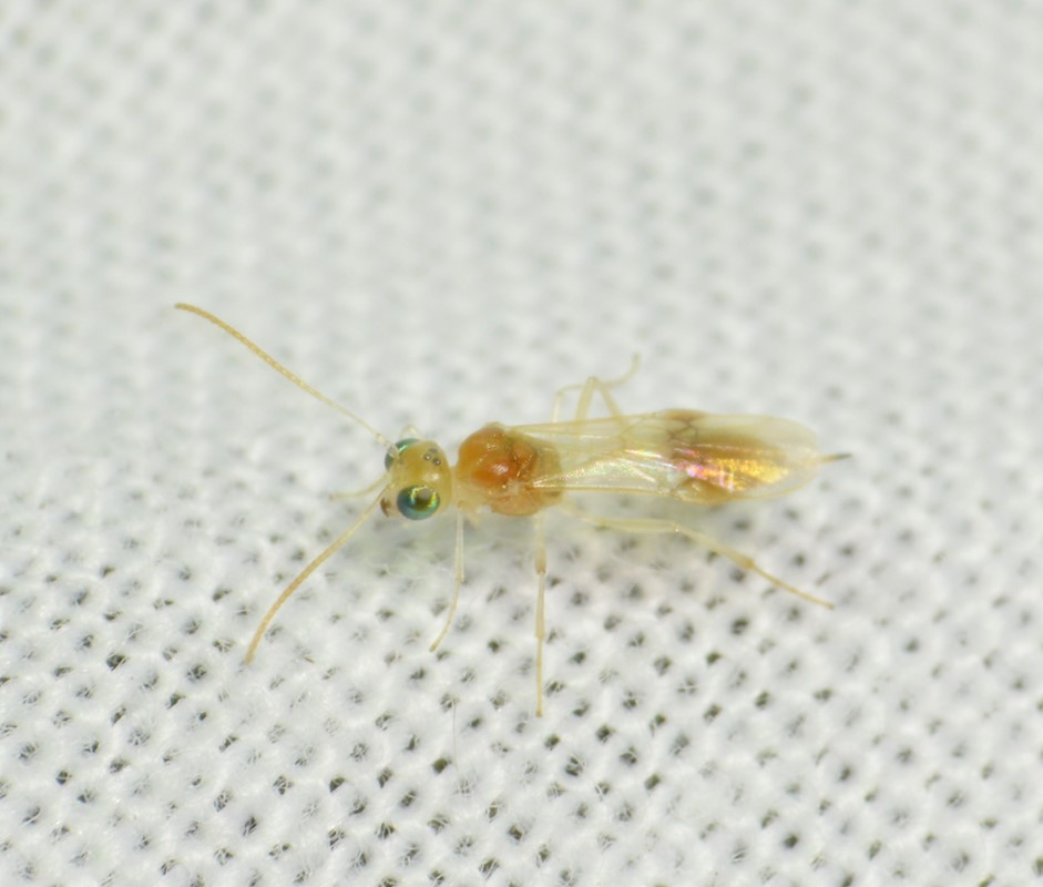 Chrysopophthorus hungaricus