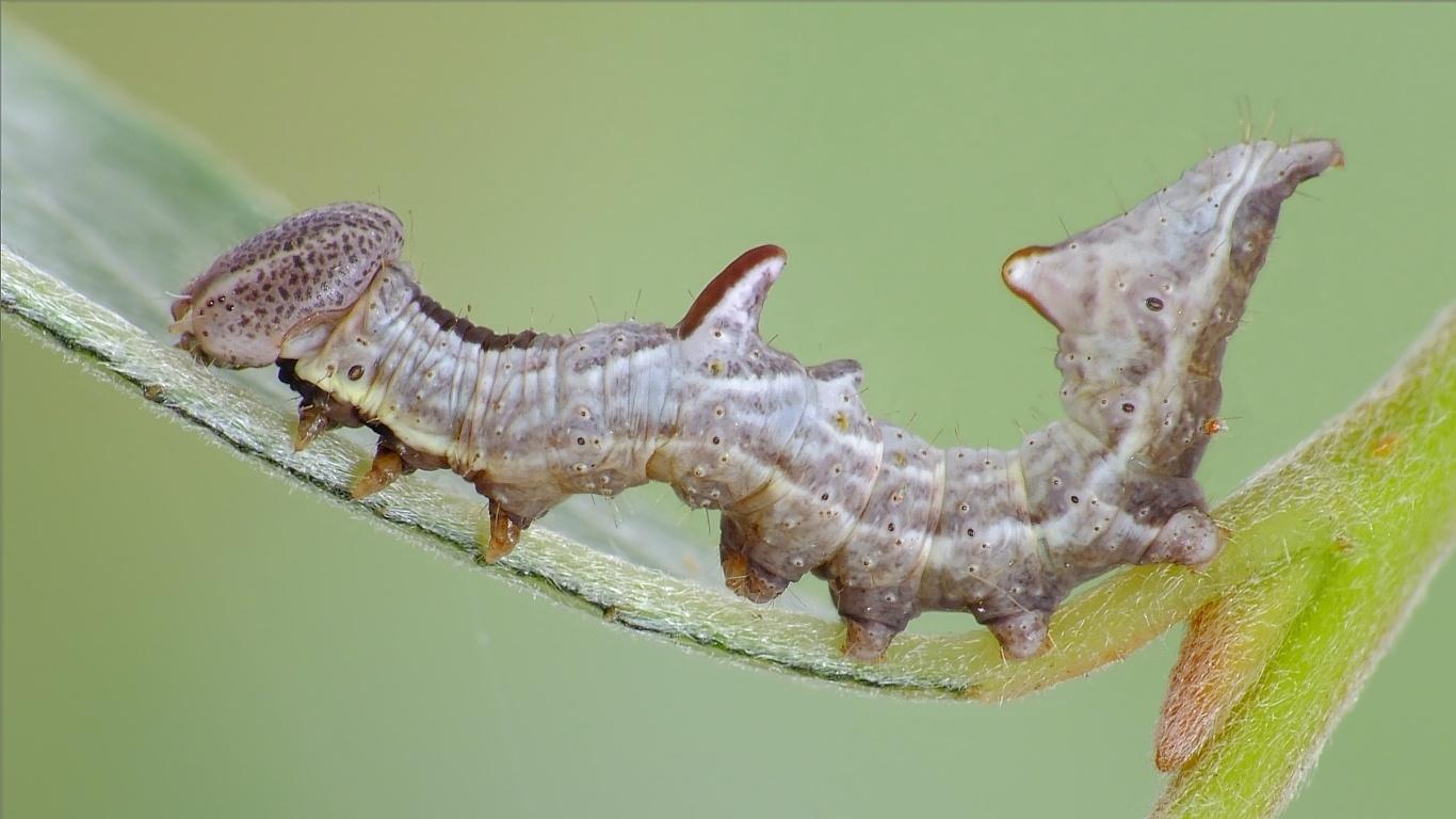 Foto/billede af Zigzagspinder (Notodonta ziczac)