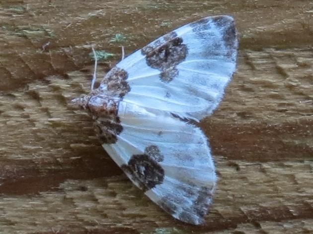 Foto/billede af Tofarvet Bladmåler (Plemyria rubiginata)