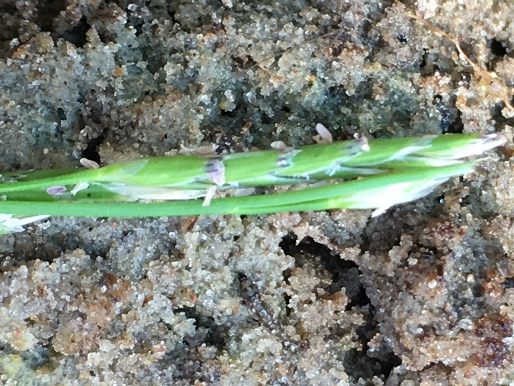 Foto/billede af Tandet Sødgræs (Glyceria declinata)
