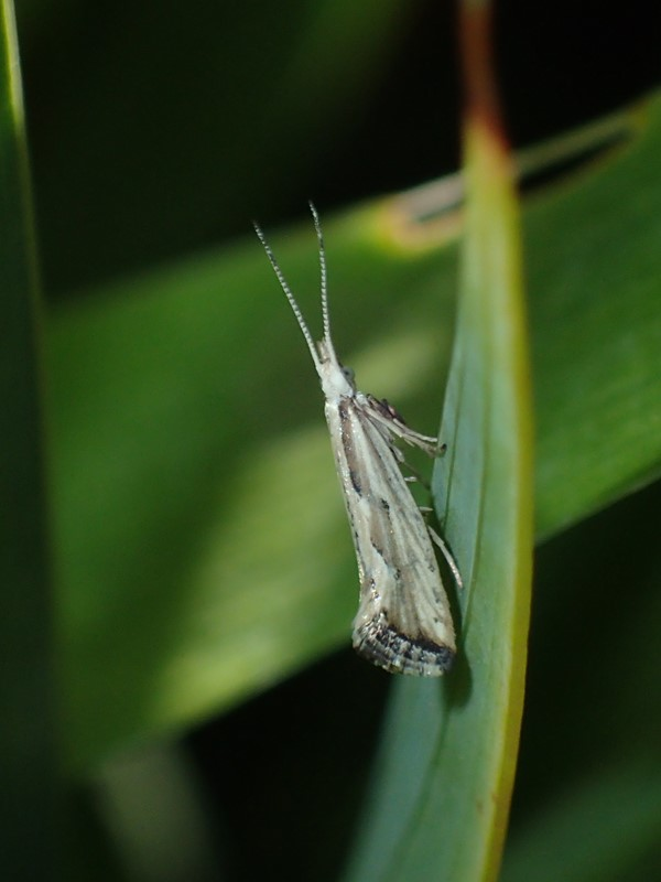 Foto/billede af Natviolmøl (Plutella porrectella)