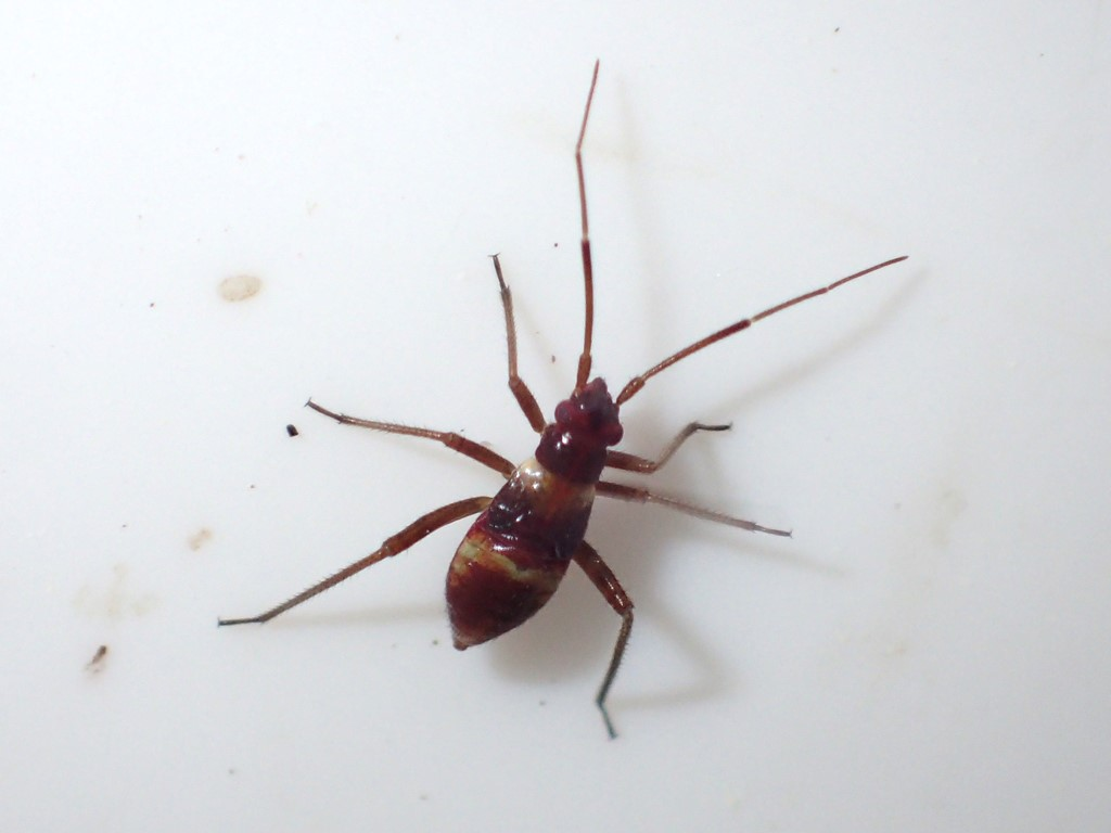 Øjenplet Blomstertæge (Closterotomus fulvomaculatus)