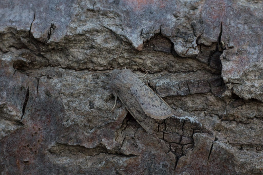 Foto/billede af Grå Forårsugle (Orthosia gracilis)