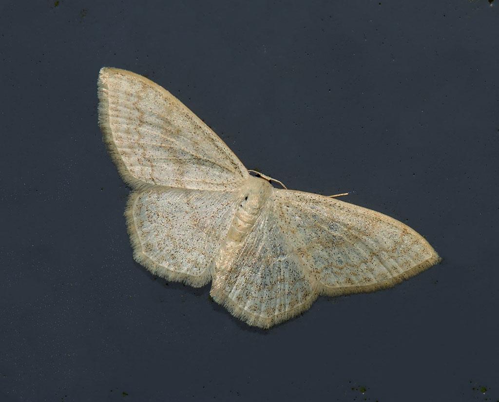 Foto/billede af Blåbærløvmåler (Scopula floslactata)