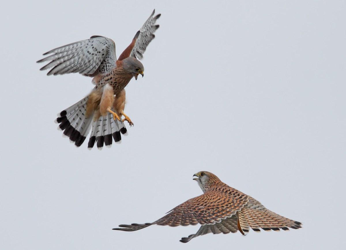 Foto/billede af T�rnfalk (Falco tinnunculus)