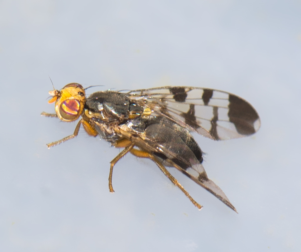 Euphranta toxoneura