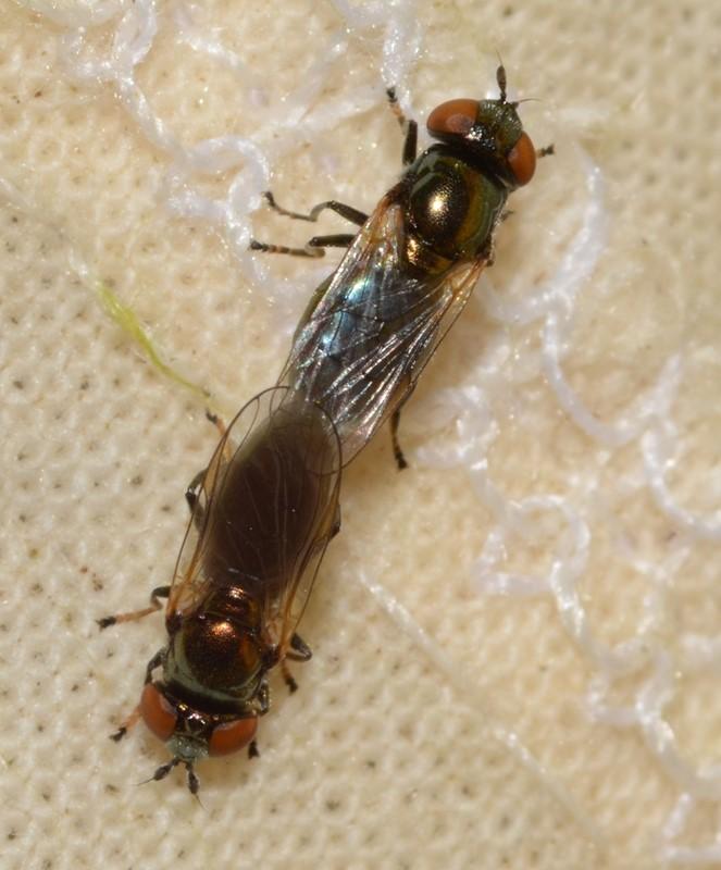 Broget Metalsvirreflue (Lejogaster tarsata)