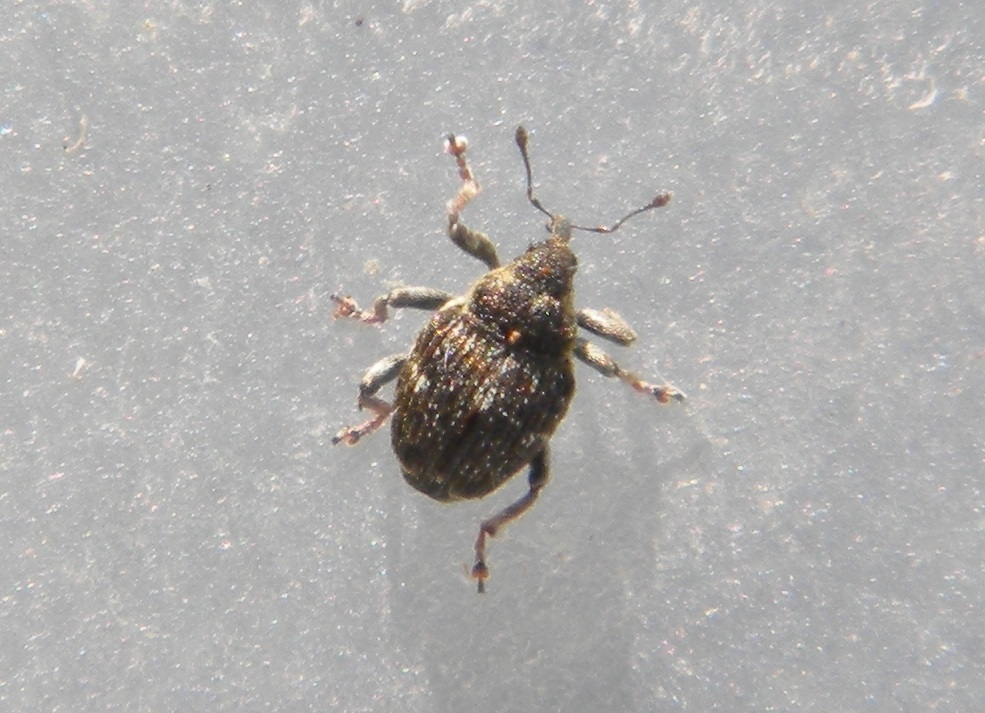 Foto/billede af Nedyus quadrimaculatus (Nedyus quadrimaculatus)
