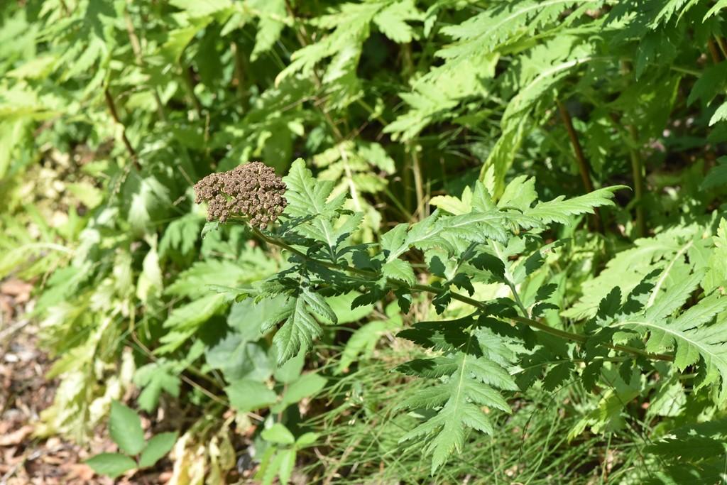 Foto/billede af Røllike-Matrem (Tanacetum macrophyllum)