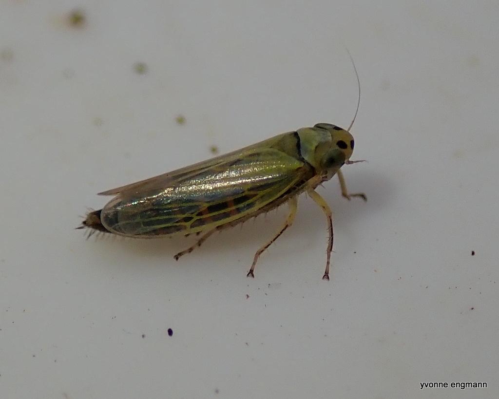 Cicadula sp. (Cicadula sp.)